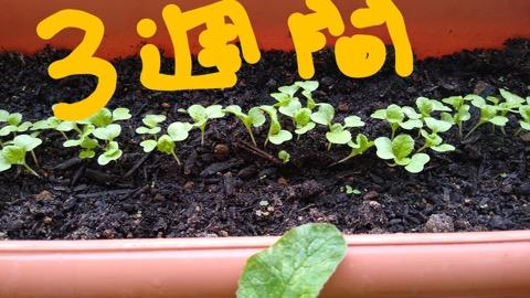 白菜の芽ポコポコ♪